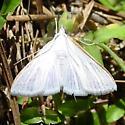 Hodges #5216 - Diaphania costata - male