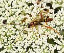 Ichneumon wasp - Spilopteron vicinum - male