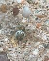Araneoid - Larinioides