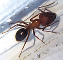 Florida ant - Camponotus floridanus