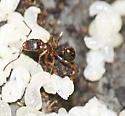 Myrmicinae? - Victoria - Aphaenogaster occidentalis
