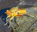 Scathophaga stercoraria? golden dung fly - Scathophaga