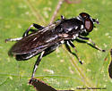 Syrphid Fly - Xylota angustiventris