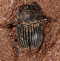 beetle - Copris