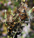 Spined Stink Bugs feeding and mating - Picromerus bidens - male - female