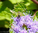 Flower Fly - can you help me ID further? - Sphaerophoria contigua
