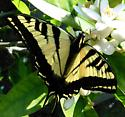 another swaltail - Papilio rutulus
