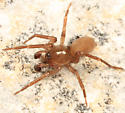 spider - Cicurina brevis - male