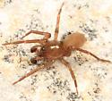 spider - Cicurina brevis - male