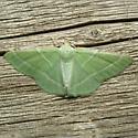 Moth - Dichordophora phoenix