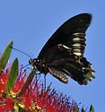 Polydamus Swallowtail  - Battus polydamas