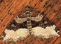 Sharp-angled Carpet - Euphyia intermediata