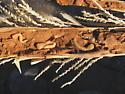 Sotol stalk grubs - Thrincopyge alacris