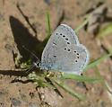Blue species? - Glaucopsyche lygdamus