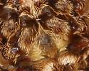 Scrub lover - Acanthepeira marion - female