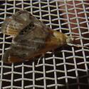 Pair of moths - Chalcoela iphitalis