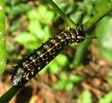 Royal moth caterpillar - Anisota