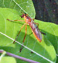 Fly - Diogmites neoternatus
