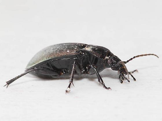 Purpliish Ground Beetle - Carabus nemoralis