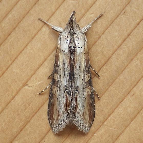 Noctuidae: Cucullia montanae - Cucullia montanae