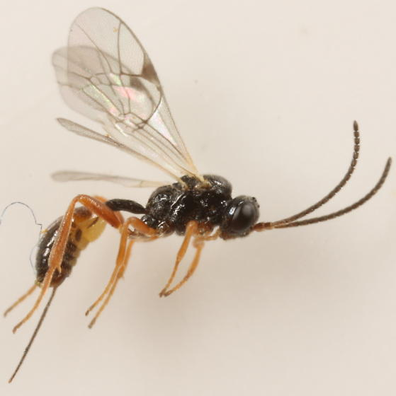Ichneumonid from Diastrophus gall - Orthopelma - female