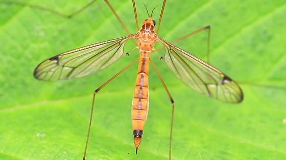 tiger crane fly? - female