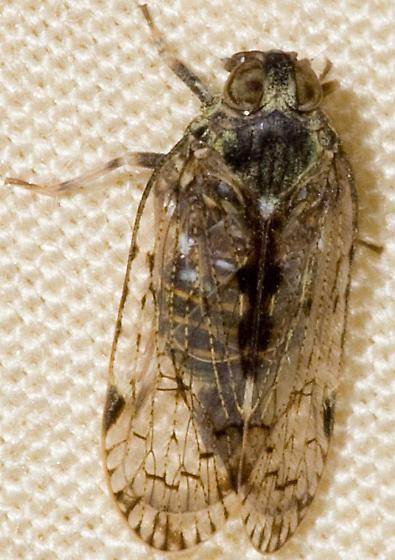 Virginia Cixiid - Melanoliarus placitus
