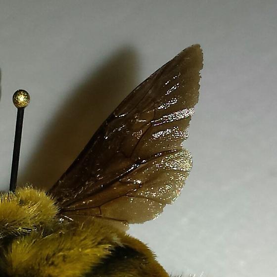 Bumble Bee - Bombus auricomus