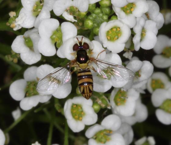 Syrphid fly - unknown genus  - Allograpta obliqua - female