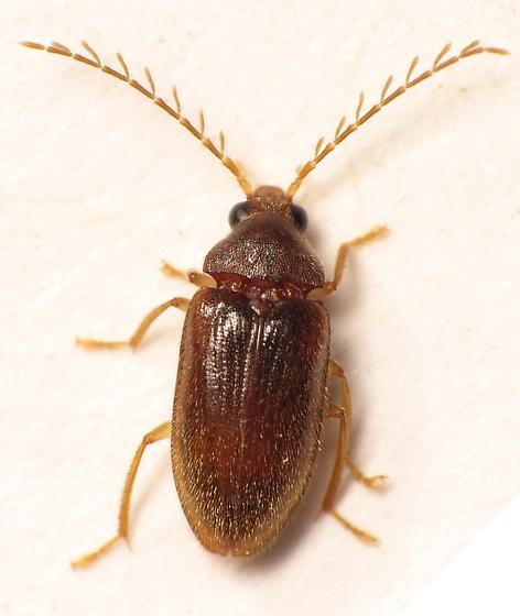 Ptilodactylidae - Ptilodactyla