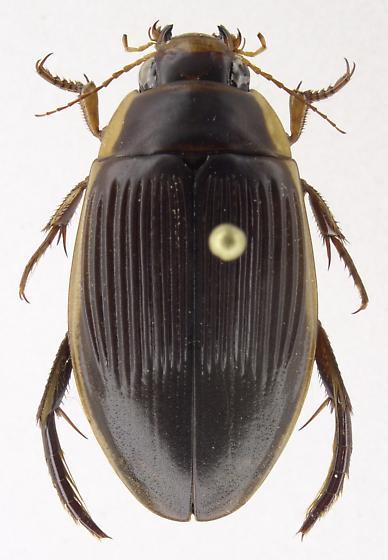 Dytiscus fasciventris - female