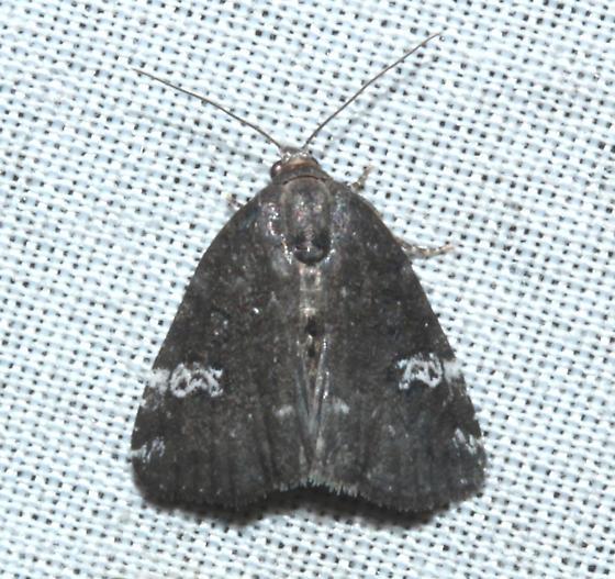 Noctuidae (Gray Marvel) - Anterastria teratophora