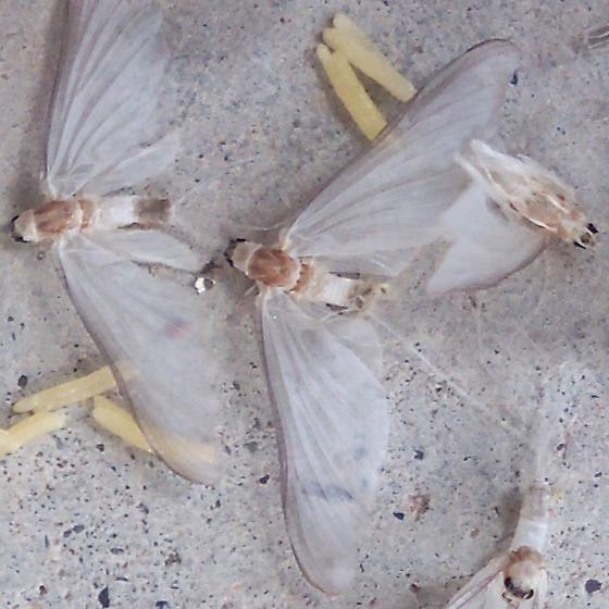 Moths and larve? - Ephoron album