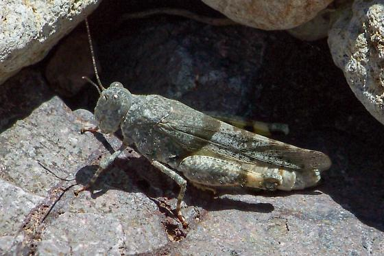 Arroyo Grasshopper - Heliastus benjamini - female