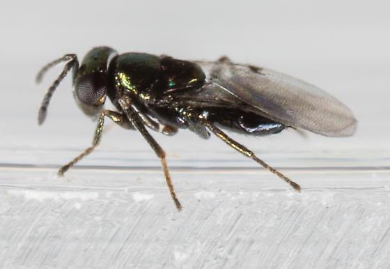 Wasp - Copidosoma