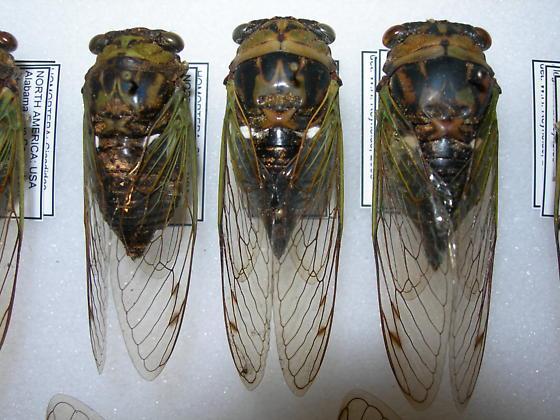 Tibicen tibicen - Neotibicen tibicen - male - female
