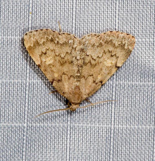 BG Gathering Moth - Idia aemula