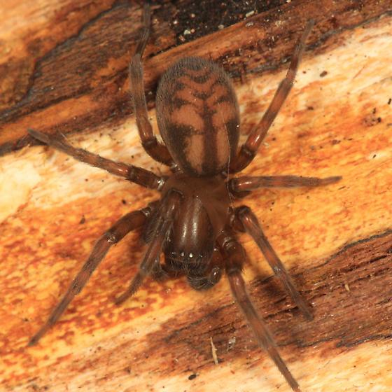 spider - Callobius bennetti - male