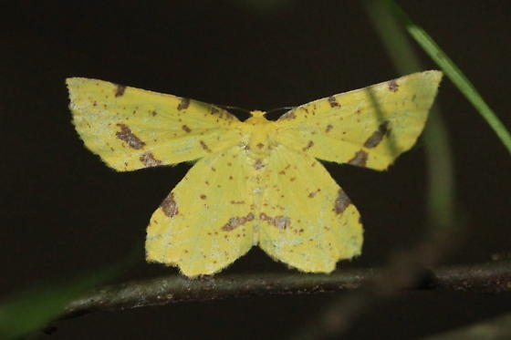 Yellow and Brown Moth - Xanthotype