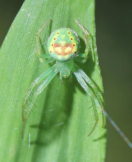 Araneus cingulatus - female