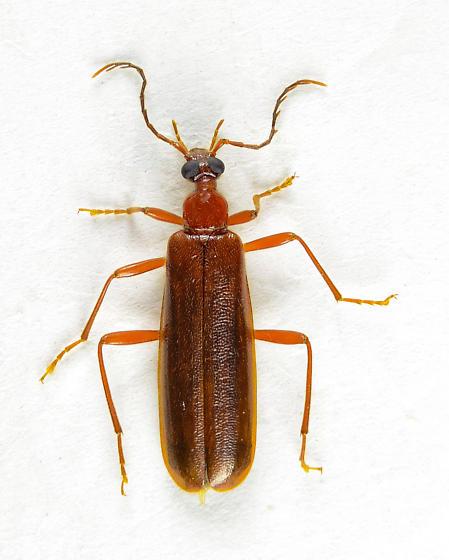 Dendroides ephemeroides? - Dendroides ephemeroides - female
