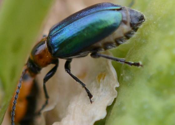 Small Bluegreen Beetle - Pseudoluperus maculicollis