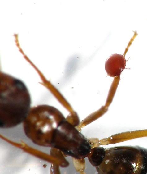 Mite - Camponotus subbarbatus