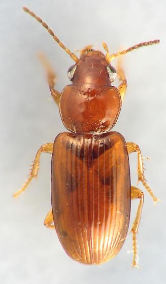 little red carabid - Acupalpus testaceus