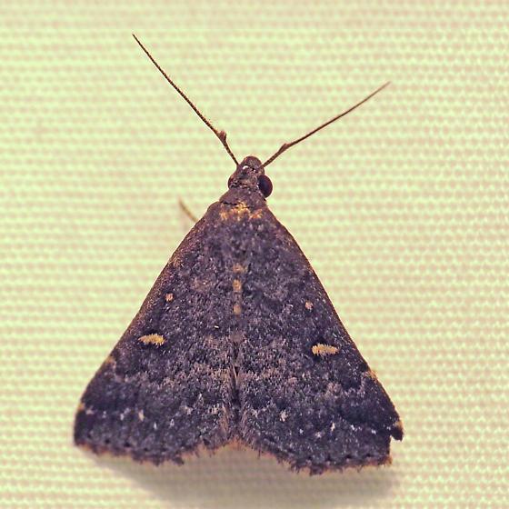 Small unknown moth - Tetanolita mynesalis - male