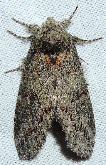 Arizona Moth - Heterocampa lunata