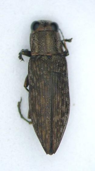 Bupestrid - Spectralia gracilipes