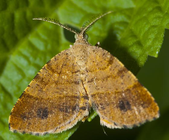 Small orangish moth - Mellilla xanthometata - male