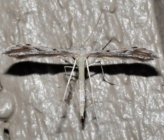 Belfrage's Plume, 6154 - Pselnophorus belfragei
