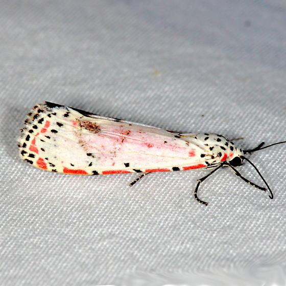 Unknown Moth 1 - Utetheisa ornatrix